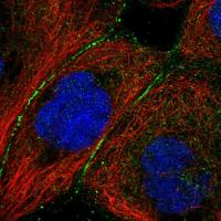 Immunofluorescent staining of human cell