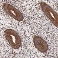 Immunohistochemical staining of human en