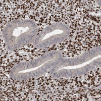Immunohistochemical staining of human en