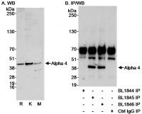 Detection of Alpha 4 by western blot and