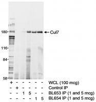 Detection of human Cul7 by western blot