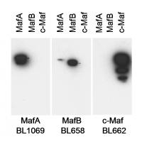 Detection of MafA, MafB and cMaf by west