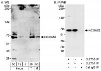 Detection of human and mouse NCOA62 by w