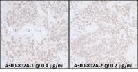 Detection of mouse SUPT6H by immunohisto