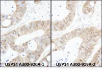 Detection of human USP14 by immunohistoc