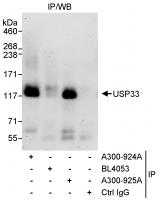 Detection of human USP33 by western blot