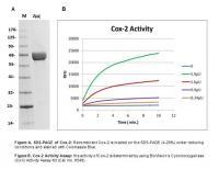 Cyclooxygenase 2, Human Recombinant (Ins