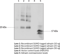 CAY14117-200 ug: Adropin Monoclonal Anti
