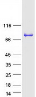 Coomassie blue staining of purified DBR1