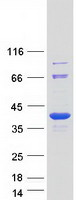 Coomassie blue staining of purified STUB