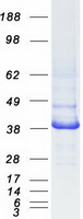 Coomassie blue staining of purified IDH3