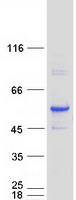 Coomassie blue staining of purified ALDH