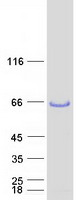 Coomassie blue staining of purified LSP1