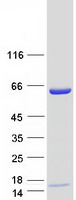 Coomassie blue staining of purified LMNB