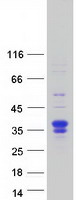 Coomassie blue staining of purified FSTL