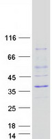 Coomassie blue staining of purified ASCL