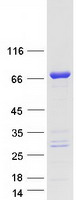 Coomassie blue staining of purified ZC3H
