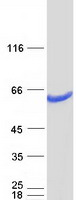Coomassie blue staining of purified DPH2