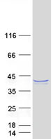 Coomassie blue staining of purified FAM5