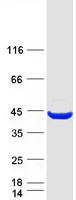 Coomassie blue staining of purified NMI