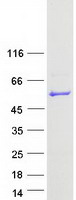 Coomassie blue staining of purified PUS3