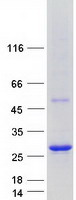 Coomassie blue staining of purified ARL6