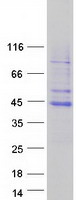 Coomassie blue staining of purified TFB2
