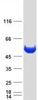 Coomassie blue staining of purified PEPD