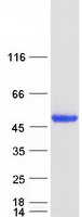 Coomassie blue staining of purified PPM1