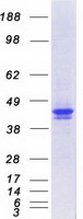 Coomassie blue staining of purified SERP
