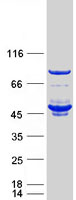 Coomassie blue staining of purified FKBP