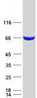 Coomassie blue staining of purified LCMT