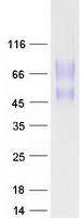 Coomassie blue staining of purified CD16