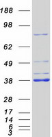Coomassie blue staining of purified MYD8