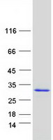 Coomassie blue staining of purified ALKB
