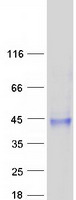 Coomassie blue staining of purified SUSD