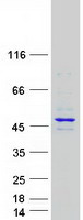 Coomassie blue staining of purified RBM4