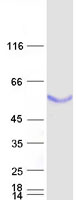 Coomassie blue staining of purified BPIF