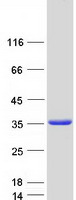 Coomassie blue staining of purified TXND