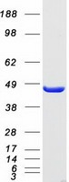 Coomassie blue staining of purified EIF4
