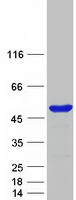 Coomassie blue staining of purified BZW2