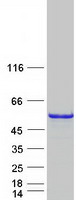 Coomassie blue staining of purified CDC1