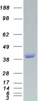 Coomassie blue staining of purified VASP