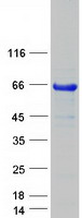 Coomassie blue staining of purified SOX1