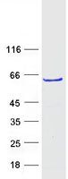 Coomassie blue staining of purified ZNF2