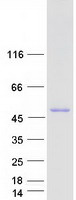 Coomassie blue staining of purified RCC1
