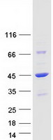 Coomassie blue staining of purified DNAJ