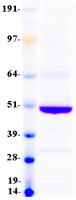 Coomassie blue staining of purified BTN2