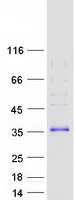 Coomassie blue staining of purified FHL3