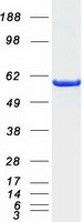 Coomassie blue staining of purified SHC1